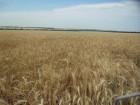 Семена озимых пшеницы и ячменя