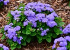 Продам однолетние растения разного цветового окраса,  опт от 100 шт