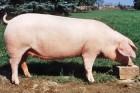 Закупаем свиней оптом по хорошей цене 33 грн