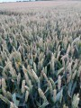 Канадская трансгенная пшеница Фарел/Farel!