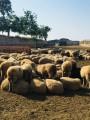 Продам стадо овец 279 голов