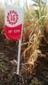 продам насіння української кукурудзи від 13грн за .кг