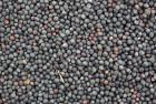 Компанія купує ріпак ГМО (не ГМО)