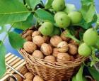 cаженцы ореха Идеал