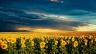 Продам семена подсолнечника  евролайтинг Армагедон, Аракар, Лимит, Карлос