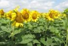 насіння соняшника Бонд, Рембо, Нео, Дракон, Ауріс