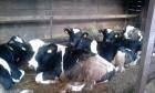 Продам партию быков