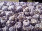 Продам Чеснок Любаша (зубок, однозубка, воздушка)