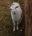 Продам козу. молодая 1,5 года, первый раз спарованая