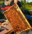 Продам бджолопакети туру та мід з власної пасіки.