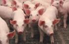 Свиньи с бесплатной доставкой от 40 грн