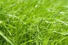 Семена райграса многолетнего, многоукосного