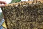 """Продаются пчелы """"карпатка"""""""