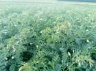 Продам насіння нута розанна , Оріон, ярило