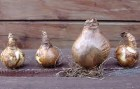 Продам луковицы нарциссов
