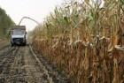 Компания закупает кукурузу с повышенной зерновой!