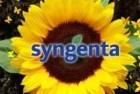 Семена подсолнечника Syngenta (Сингента). Каталог гибридов $