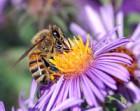 Продам бджолопакети, порода карпатка