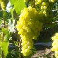 —аженцы столового винограда ќптом