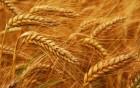 Пшениця 6 класу