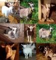 Продам козу дійну