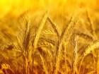 Закупаем пшеницу 2кл/3кл/5-6кл