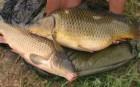 Продам живую рыбу. карп, щука, линь, амур, сом,