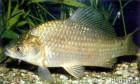 Продам оптом живую рыбу (карась