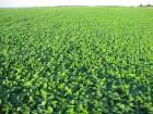 соя під раундап ГМО