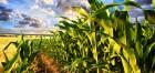 Продам гибрид кукурузы Почаевский-190 МВ