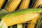 семена кукурузы ћоника 350 ћ¬