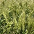 Продам Семена пшеницы. Сверхурожайные. 100-170 ц / га. Мироновская 65
