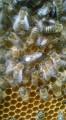 ѕродам бджоломатки арн≥ка-арпатка