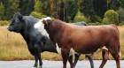 Покупаю бычки 400-450-500 кг.