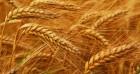 омпани¤ на посто¤нной основе закупает ¤чмень, пшеницу.
