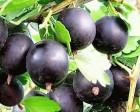 Продам ягоды крыжовника сорт Черномор