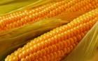 Куплю кукурузу 2018 года урожая