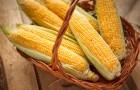 Куплю кукурузу дорого!