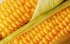 Дорого закупаем кукурузу любого качества