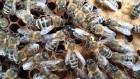 Продам плодные пчелиные матки Карпатской породы 2019г.