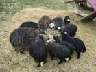 Продаю вівці та ягнята