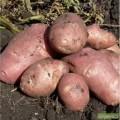 Картофель без дротянки