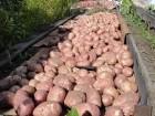 Картофель на продажу отличного качества