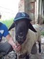Продам овець (вівцематки), баранчики, ягнята породи Суффолк, Прекос.