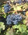 Продам виноград Одесский черный, Ркацители (винные сорта)