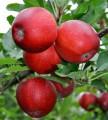 Саженцы плодовых деревьев от производителя
