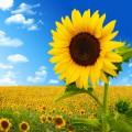 Куплю соняшник та жито по Західних областях, великий об'єм