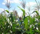 Продаем семена гибридов кукурузы украинской селекции