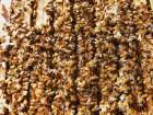 ѕчеломатки италь¤нской породы