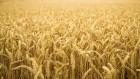 Куплю пшеницу!